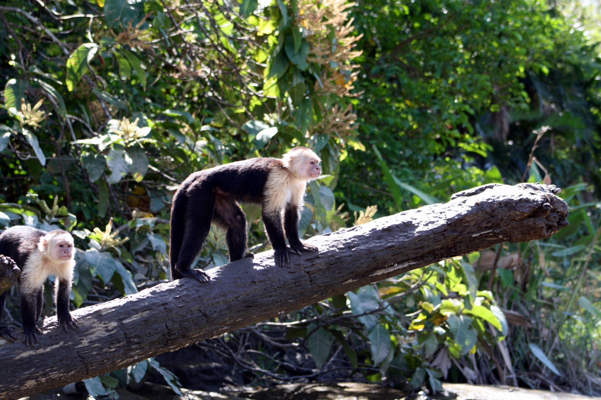 See the Wild Monkeys at Palo Verde Tour